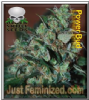 Black Skull Power Bud Female 10 Marijuana Seeds